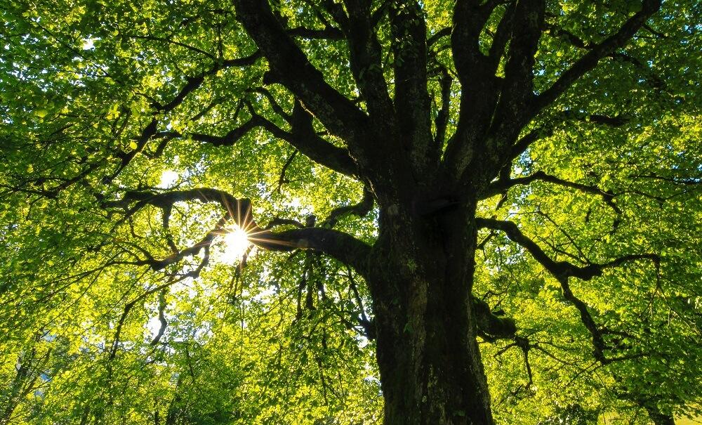 Baum mit Blick in die Sonne durch das Blätterdach
